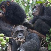 Söhne machen Schimpansen-Mütter geselliger (Foto)