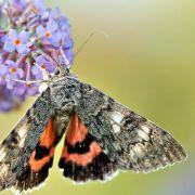 Rotes Ordensband ist Schmetterling des Jahres 2015 (Foto)