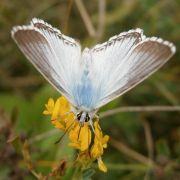 Silbergrüner Bläuling zum Insekt des Jahres gekürt (Foto)