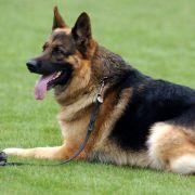 Schäferhund rettet elf Menschen das Leben (Foto)