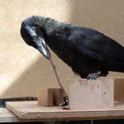 Krähen sind Rechts- oder Linksschnäbler (Foto)