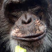 US-Gericht: Schimpansen stehen Menschen rechtlich nicht gleich (Foto)