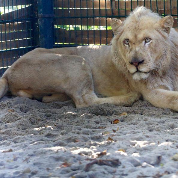Zoobesucher wirft sich Löwen zum Fraß vor (Foto)
