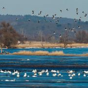Deutschlands Naturschützer zählen die Wasservögel (Foto)