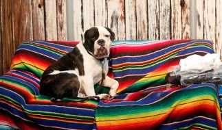 Leidet Ihr Hund auch an Sofademenz und macht sich provokativ auf der Couch breit? (Foto)