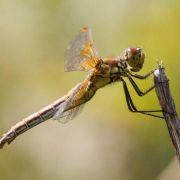 Gefleckte Heidelibelle wird Libelle des Jahres (Foto)