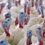 Angst vor Vogelgrippe: Virus in Niedersachsen nachgewiesen (Foto)
