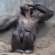 Geschicklichkeit ist bei Schimpansen erblich (Foto)