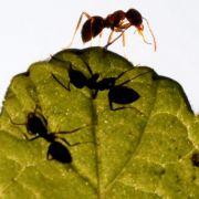 Baby bei lebendigem Leib von Ameisen gefressen (Foto)