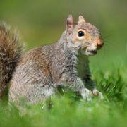 Artenkampf bei britischen Eichhörnchen: Grau gegen rot (Foto)