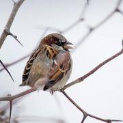 Piepmätze zählen bei bundesweiten «Stunde der Wintervögel» (Foto)