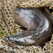 Aal steckt 5 Stunden in Luftröhre fest (Foto)