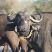 Entwurmte Büffel können die Gesundheit ihrer Gruppe gefährden (Foto)