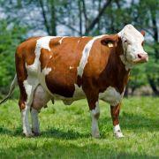 Rinder-Urin als Putzmittel und Cola-Ersatz (Foto)