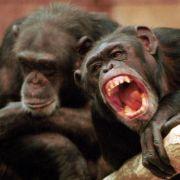 Affen zu vertrauensvoller Zusammenarbeit fähig (Foto)