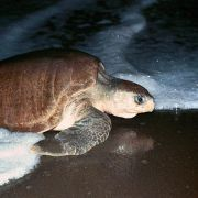 Meeresschildkröten finden Heimatstrand dank Magnetfeld (Foto)