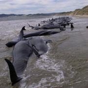 Dutzende Wale in Neuseeland gestrandet - 140 Tiere tot! (Foto)