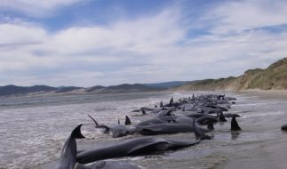 Rund 60 gestrandete Wale in Neuseeland konnten gerettet werden. (Foto)