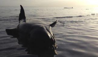 Rund 60 gestrandete Wale in Neuseeland gerettet (Foto)