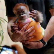 Orang-Utan-Baby Rieke auf dem Weg nach Großbritannien (Foto)