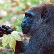 Spürhunde helfen beim Schutz bedrohter Gorillas (Foto)