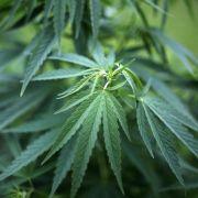 Institut: 382 Patienten erhalten Cannabis als Schmerzmittel (Foto)