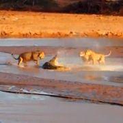 Drei Löwen attackieren ein Krokodil im Samburu-Nationalpark im Norden Kenias.