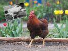 Ohne Kopf lebte der Hahn 18 Monate weiter. (Foto)