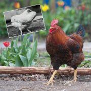 Wundergockel überlebt 18 Monate ohne Kopf (Foto)