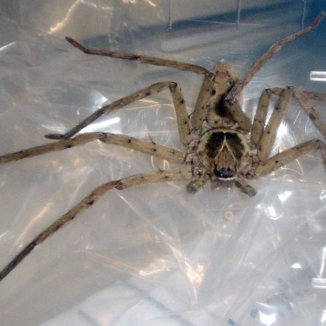 Spinnenbiss führt zur Dauererektion (Foto)