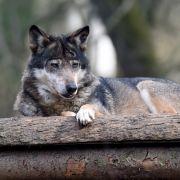 Raubtier-Alarm! Wie gefährlich ist der Wolf? (Foto)