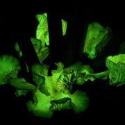 Grünliche Strahlen: Leuchtpilze locken Insekten an (Foto)