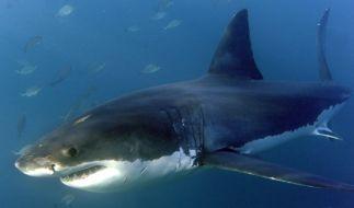 Hai-Angriffe auf den Menschen nahmen in den letzten Jahren stetig ab. (Foto)