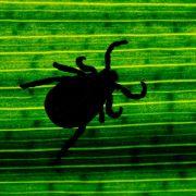 Wissenschaftler:Zecken auch in waldfernen Gärten (Foto)