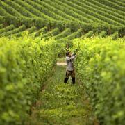 Bodenbakterien besiedeln den gesamten Weinstock (Foto)