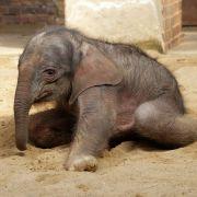 Elefanten-Baby schwebt in Lebensgefahr (Foto)