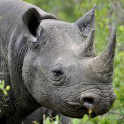Amok-Nashorn tötet Frau (Foto)