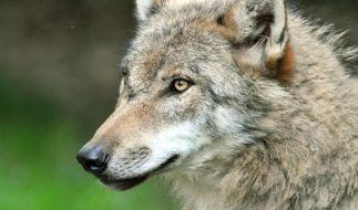 Minister: Wölfe dürfen keine Bedrohung für Menschen werden (Foto)