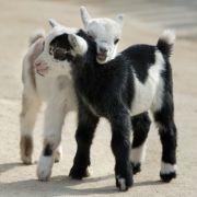 Diese süßen Ziegen-Babys sollen als Löwenfutter enden (Foto)