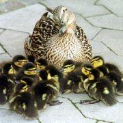 Entenfamilie legt Baseler Verkehr lahm (Foto)