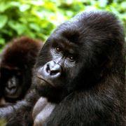 Genomanalyse: Inzucht scheint Berggorillas zu schützen (Foto)