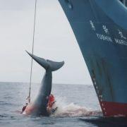 Japan fängt wieder Wale (Foto)