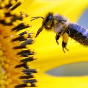 EUuntersucht im Kampf gegen Bienensterben erneut Pestizide (Foto)