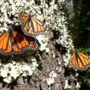 Naturschützer fordern Schutz der Monarchfalter in Mexiko (Foto)