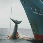 Walfangkommission stoppt Japans neues Jagdprogramm (Foto)