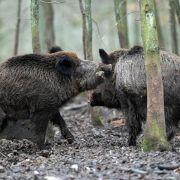 Bayerns Wildschweine stärker verstrahlt als bekannt (Foto)