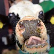 Wilde Kuh trampelt fünf Menschen nieder (Foto)