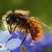 Nikotin-ähnliche Wirkung: Bienen fliegen auf Insektizide (Foto)