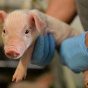 Forscher wollen Tiergesundheit messen (Foto)
