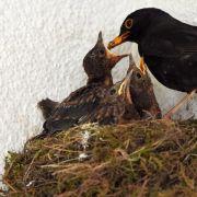 80 Millionen Brutpaare: Neuer Atlas für Vögel (Foto)